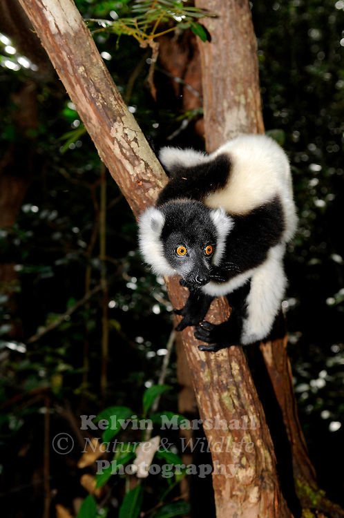 The black-and-white ruffed lemur (Varecia variegata) is the more endangered of the two species of ruffed lemurs, both of which are endemic to the island of Madagascar. Andasibe-Mantadia National Park, Madagascar.