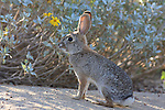 Photo Magnet Edit:  Desert Cottontail/Jackrabbit