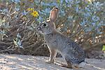 Photo Magnet Edit:  Desert Cottontail/Jackrabbit