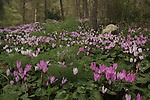 Israel, Shephelah, Cyclamen flowers in Amatzia forest.