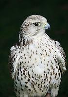 Gyr x Saker Falcon....Copyright..John Eveson, Dinkling Green Farm, Whitewell, Clitheroe, Lancashire. BB7 3BN.01995 61280. 07973 482705.j.r.eveson@btinternet.com.www.johneveson.com
