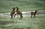 Three elk calves playing.