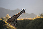 Giraffe at the Living Desert