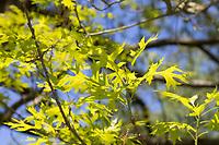 Sumpf-Eiche, Sumpfeiche, Spree-Eiche, Boulevard-Eiche, Nagel-Eiche, Eiche, Quercus palustris, pin oak, swamp Spanish oak, Le Chêne des marais, Chêne à épingles