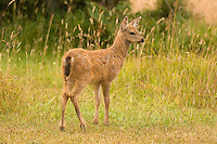 Blacktailed Deer fawn, San Juan Island, Washington