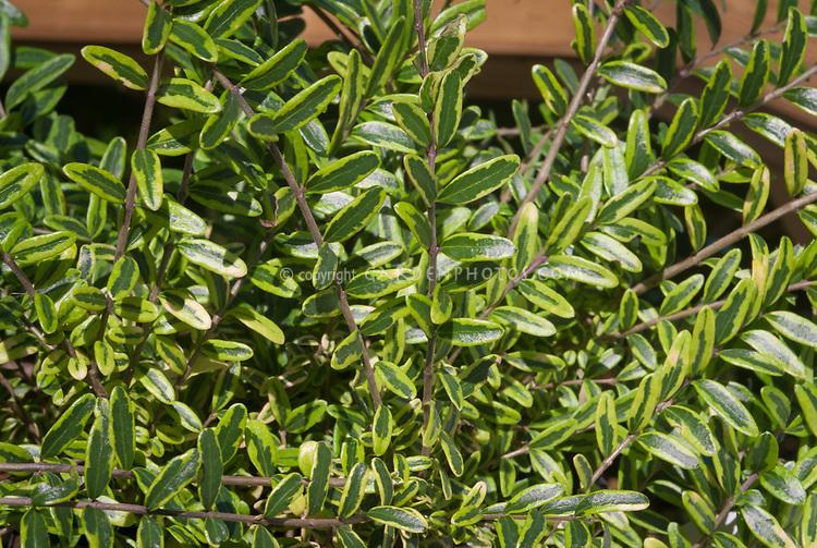 Lonicera nitida 'Lemon Beauty' honeysuckle variegated Box honeysuckle