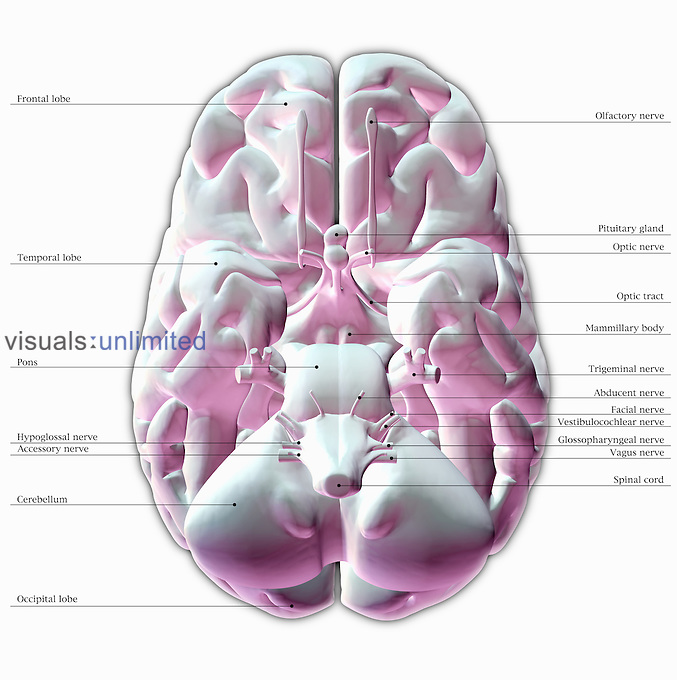 Biomedical illustration of the underside of the human brain ...