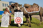 A pair of camels showed up on the final day of negotiation at the United Nations Climate Talks in Bonn Germany. The camels were drawing attention to the severity of desertification that climate change is causing and the severity of the weak targets that countries have set at these talks. With the plodding nature of talks to date, it will be a surprise if an agreement is reached in Copenhagen later this year.  (©Robert vanWaarden)