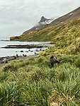 Shackleton Hike - Last 6 Km. From Fortuna Bay To Stomness Harbor.  Lots of Fur Seals On Beach & In Tussocks