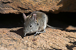 Smith's Rock Elephant Shrew (Western Rock Sengi), Elephantulus rupestris, Namakwa National Park, Western Cape, South Africa