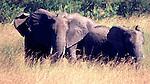 African Elephants, Masai Mara, Kenya