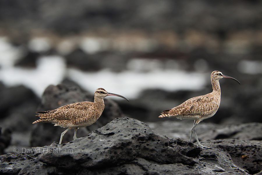 The Whimbrel,  Numenius phaeopus hudsonicus, is a wader in the large family Scolopacidae. It is the one of the most widespread of the curlews.  Photographed off Santa Cruz Island, Galapagos, Equador.