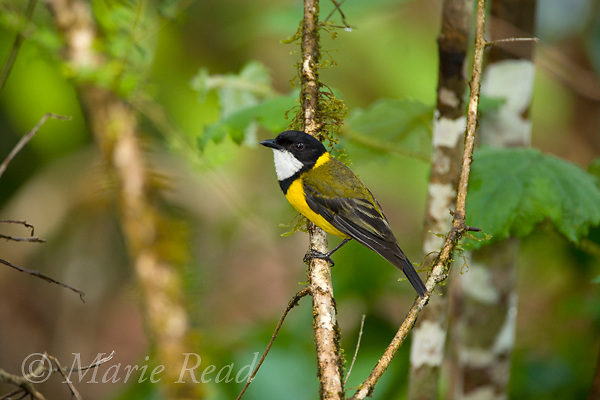 Golden Whistler (Pachycephala pectoralis), male, Lake Eacham National Park, Queensland, Australia