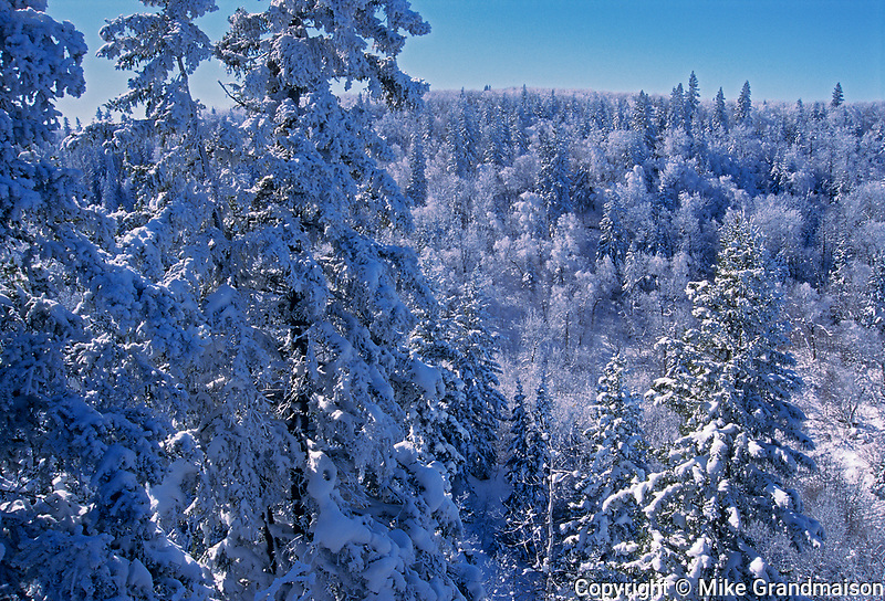 Boreal forest in winetr, Riding Mountain National Park, Manitoba, Canada