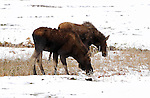 Male and Female Moose, Late Winter, Norris Junction, Yellowstone National Park, Wyoming