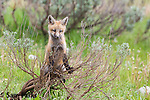 Red fox kit near den. Grand Teton National Park, Wyoming.