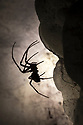 European Cave Spider (Meta menardi) in limestone cave. Plitvice Lakes National Park, Croatia. January.
