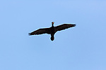 An adult Double Crested Cormorant, Phalacrocorax auritus, in flight in Utah, USA.