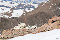 Mountain Goat (Oreamnos americanus) mother and her two kids take a break on the edge of a cliff.  Mount Evans, Colorado.