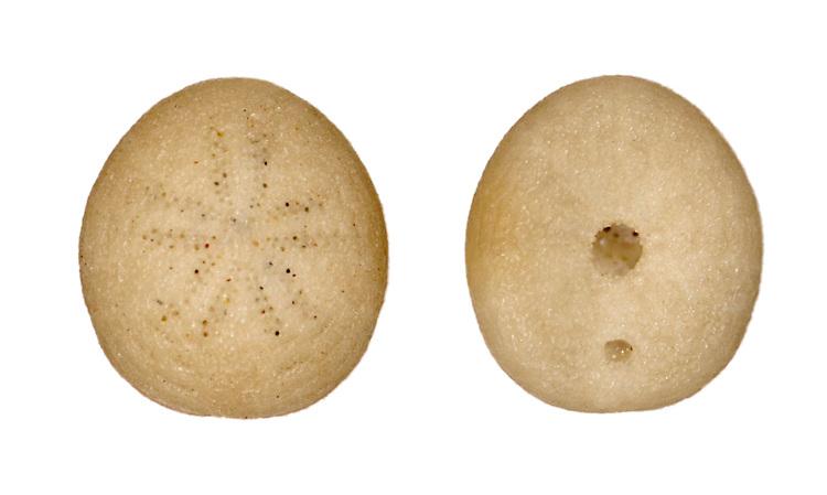 echinocyamus pusillus