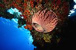 East Indonesia, Raja Ampat,  barrel sponge  A large, brown sponge, Xestospongia testudinaria, from the waters of Australia and the Indian Ocean