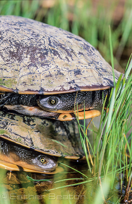 Long-necked Turtles stacked on top of each other. Gundagai area, NSW