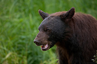 Brown-colored male Black Bear scares off a rival, Northern Minnesota