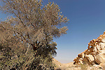 Israel, ancient Olive tree in the Negev desert