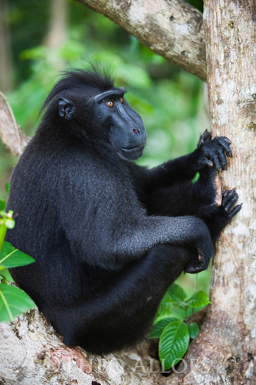 Dominant male crested black macaque sitting in tree, (Macaca nigra), Indonesia, Sulawesi; Endangered species, threatened through loss of habitat and bush meat trade, species only occurs on Sulawesi.