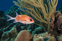 Squirrelfish, Holocentrus adscensionis, Bonaire, Netherland Antilles, Netherlands, Caribbean Sea, Atlantic Ocean
