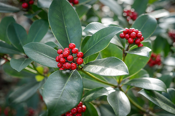 Skimmia japonica 'Ruby Dome'