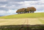 Beech copse on chalk scarp slope landscape on Ridgeway, west of Hackpen Hill, Broad Hinton, Wiltshire, England, UK