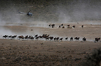 Dust rises from the dry rangeland as BLM contractors use helicopters to gather almost 900 horses that have little food in the Nevada desert.<br /> <br /> Cattor Livestock Roundup Inc out of Nephi, Utah rounded up the horses that were shipped to Palomino Valley.  <br /> Under the stress of malnutrition, dehydration and the changes in their environment and diet, some of the horses contracted salmonella, which complicated recovery efforts. Eventually 159 horses died, though others recovered from the sickness, and some never contracted the illness at all.