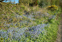 Forget-me-nots growing on a roadside verge, Lancaster , Lancashire.