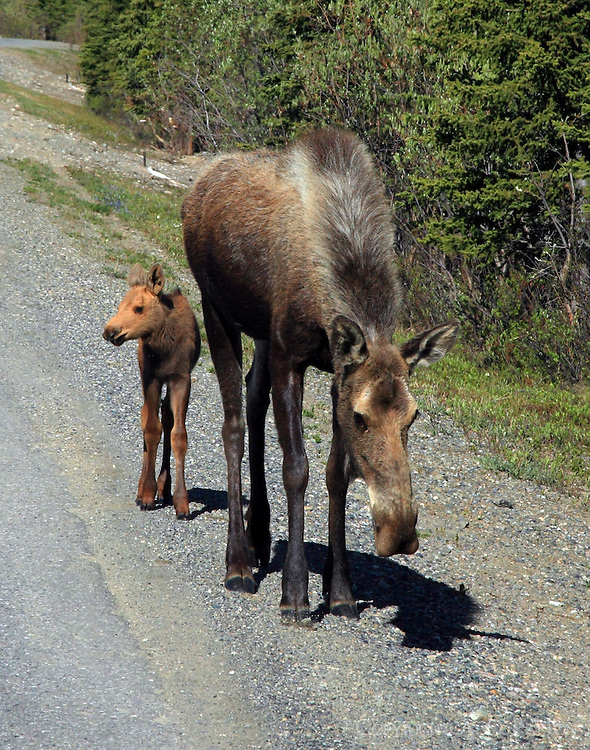Female moose with calf in June