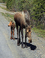 Female moose with calf in June