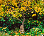 Ganesh, Japanese Persimmon, Diospyros Kaki, Fern Canyon, Mill Valley, California