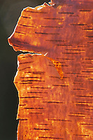 River Birch (Betula nigra), bark backlit,  Angier, North Carolina, USA