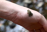 A tiny toad, Eno River State Park, near Durham, NC, August 2009.  (Photo by Briain Cleary/www.bcpix.com)