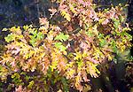 Autumnal colours of leaves on oak tree