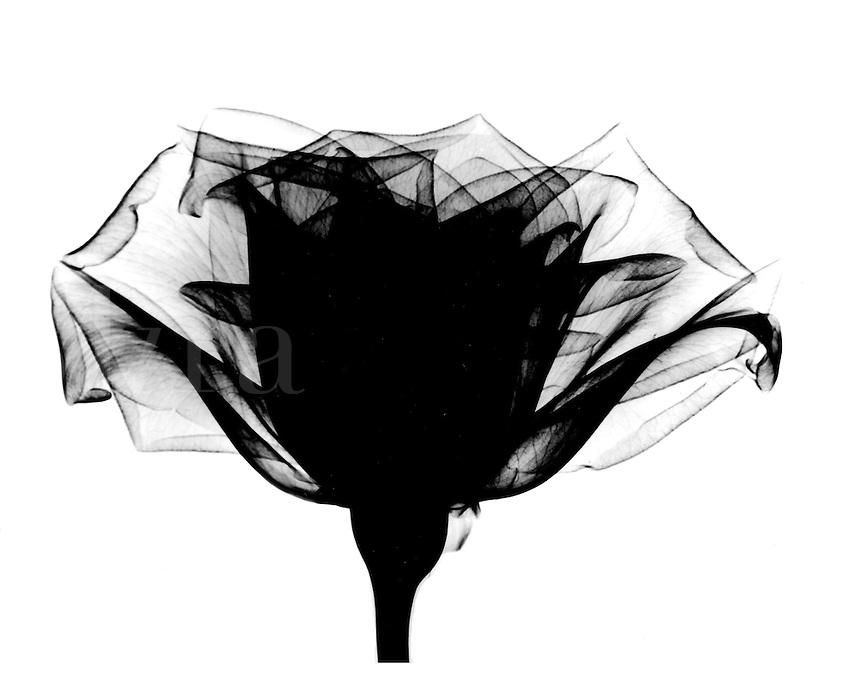 Xray of rose.