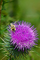 320040054 a wild honey bee apis mellifera feeds on a new mexico or desert thistle cirsium neomexicanum  at bog tank creek in apache county arizona