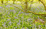 Bluebell flowers, Hyacinthoides non-scripta, wildflowers in springtime, ancient woodland, Gopher Wood, Huish, Wiltshire, England, UK