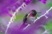Male Anna's Hummingbird (Calypte anna) perched among garden flowers showing iridescent gorget feathers.  California.  Fall.