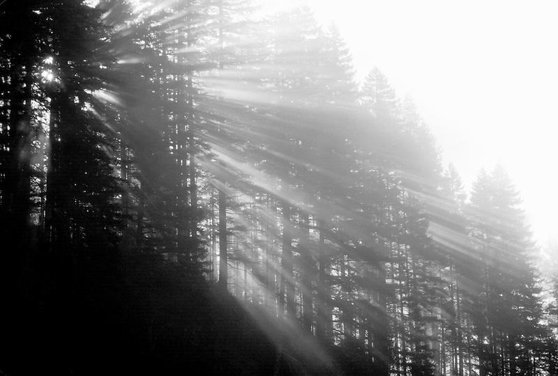M00085.tif   Fog and sun through fir trees. Cascade Mountains, Oregon