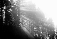 M00085.tif   Fog and sun through fir trees. Cascade Mountains, Oregon