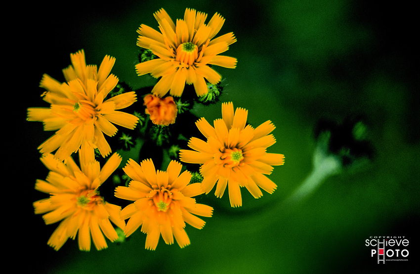 Yellow hawkweed grows abundantly in Northern Wisconsin.