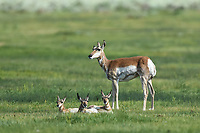 A mother Pronghorn stands guard over her triplets on the plains of Colorado.