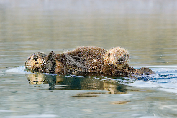 Sea Otters (Enhydra lutris)--pup has just finished nursing.
