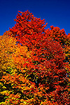 Fall colour, maple trees, leaves
